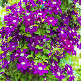 Kwitnący Clematis w pionowo ogrodnictwo ogródzie Zdjęcia Stock