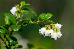 kwitnący cranberries Zdjęcia Royalty Free