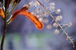 Kwitnący croton fotografia stock