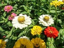 Kwitnący cynia kwiat w kwiatu ogródzie Obraz Royalty Free