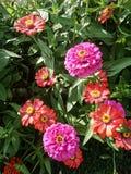 Kwitnący cynia kwiat w kwiatu ogródzie Obrazy Royalty Free