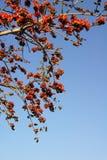Kapoka drzewo Zdjęcie Royalty Free