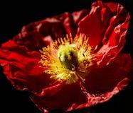 Kwitnący czerwony makowy kwiat Obrazy Royalty Free