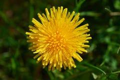 kwitnący dandelion Zdjęcie Royalty Free