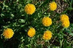 kwitnący dandelion Obraz Stock