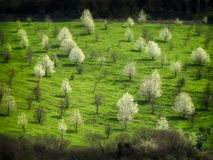 Kwitnący drzewa na polu w Umbria Obrazy Royalty Free