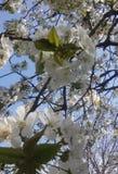 kwitnący drzewo fotografia royalty free