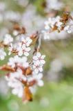 kwitnący drzewo Zdjęcie Stock
