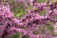 kwitnący drzewo Zdjęcia Stock