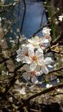 Kwitnący drzewo w Marzec Zdjęcie Stock