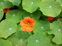 Kwitnący dziki kwiat Obraz Royalty Free