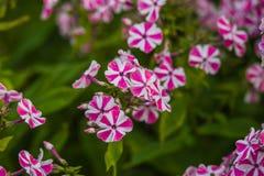 Kwitnący floks Zdjęcia Stock