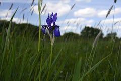 Kwitnący Irysowy las Obrazy Royalty Free