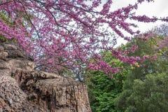 Kwitnący Judaszowego drzewa Cercis Zdjęcie Stock