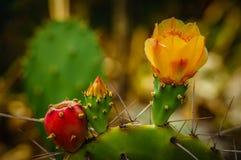 Kwitnący kaktus Zdjęcie Stock