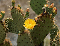 Kwitnący kaktus przy Montezuma Well Fotografia Stock