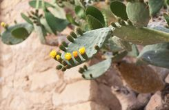 Kwitn?cy kaktus z prickles i kolor zdjęcie royalty free