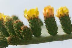 Kwitn?cy kaktus z prickles i kolor obraz royalty free