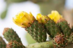 Kwitn?cy kaktus z prickles i kolor zdjęcie stock