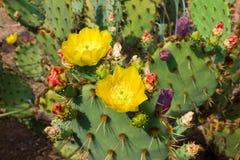 Kwitnący kaktusa Cactaceae Opuntia Obraz Stock