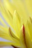 kwitnący kaktusowy coryphantha Zdjęcie Royalty Free