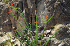 kwitnący kaktusowy ocotillo Obrazy Royalty Free