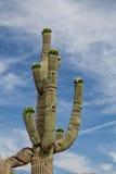 kwitnący kaktusowy saguaro Zdjęcia Stock