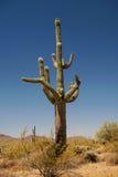 kwitnący kaktusowy saguaro Obrazy Royalty Free