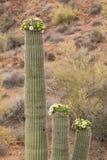 kwitnący kaktusowy saguaro Zdjęcia Royalty Free
