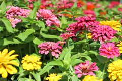 Kwitnący kolorowi kwiaty w ogródzie Zdjęcia Stock