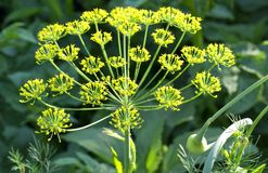Kwitnący koperkowy makro- Fotografia Stock