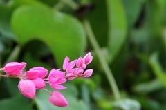 kwitnący koralowy kwiatu menchii winograd Fotografia Stock
