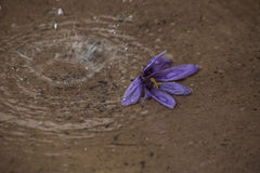 Kwitnący krokus kwiat w deszczu Obraz Stock