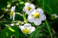 Kwitnący krzak truskawka Zdjęcie Royalty Free