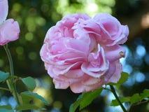 Kwitnący kwiat Fotografia Stock