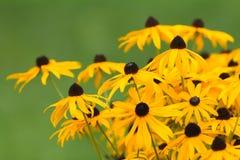 Kwitnący kwiatu Rudbeckia obraz stock