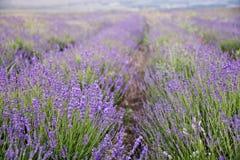 Kwitnący lawendowy krzaków kwiatów pole Obrazy Royalty Free