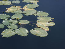 kwitnący lilii wody Obrazy Royalty Free
