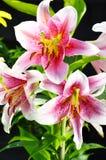Kwitnący Lilium w ogródzie Fotografia Stock
