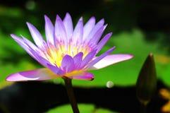 kwitnący lotos Obraz Stock