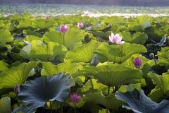 Kwitnący lotos w jeziorze Obrazy Stock