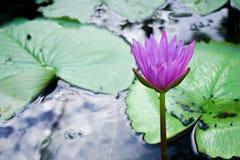 Kwitnący lotos w stawie Fotografia Royalty Free