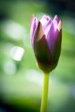 Kwitnący lotosowy kwiat Obrazy Royalty Free