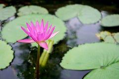 Kwitnący Lotus w stawie Obrazy Royalty Free