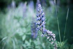 Kwitnący Lupine Fotografia Stock