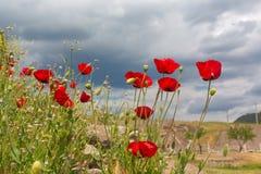 Kwitnący maczków kwiaty na zieleni polu naturalnym Zdjęcia Stock