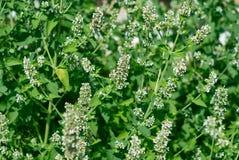 Kwitnący motherwort w ogródzie Obraz Stock