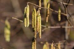 Kwitnący orzechowy drzewo Fotografia Stock