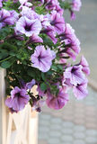 kwitnący petuni obwieszenie na ogrodzeniu fotografia royalty free