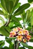 Kwitnący plumeria kwiaty Zdjęcia Stock